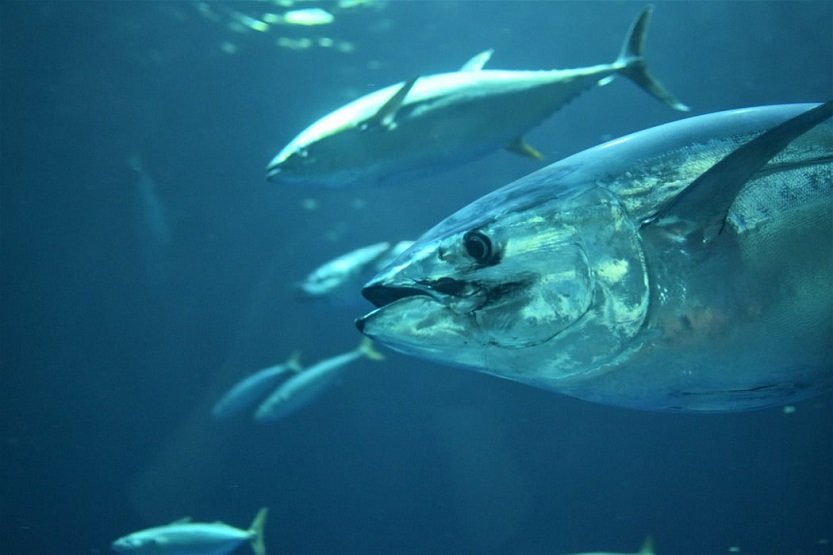 Las grandes empresas se comprometen a no comercializar atún rojo