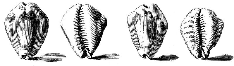 Conchas cowry Cypraea-moneta