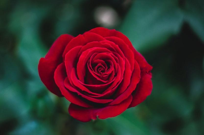 Historia de los rosas. Del antiguo Egipto a nuestros días