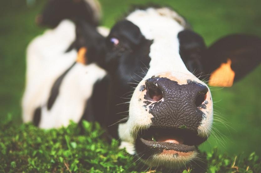 Venta directa de leche cruda de vaca