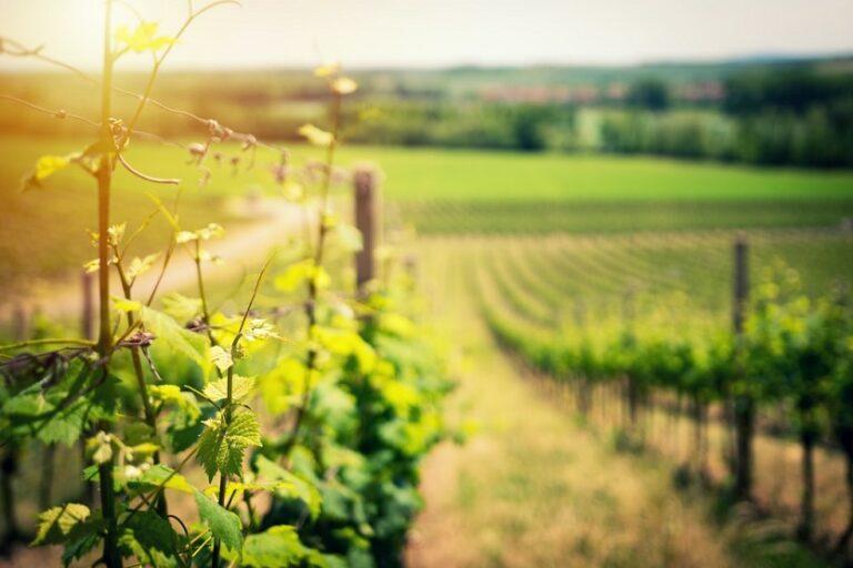Viñedo vino (Ales Me Unsplash)