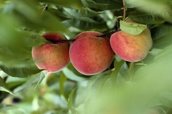 melocotones arbol